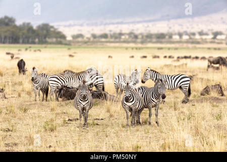 A small herd of zebra and wildebeest in the grasslands of the Masai Mara, Kenya. The herds travel into the Mara during the annual great migration, in  - Stock Photo