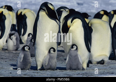 Film Still / Publicity Still from 'March of the Penguins' 2005 © 2005 National Geographic  File Reference # 30736226THA  For Editorial Use Only -  All Rights Reserved