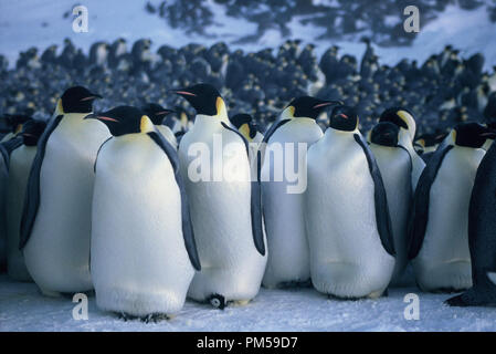 Film Still / Publicity Still from 'March of the Penguins' 2005 © 2005 National Geographic  File Reference # 30736231THA  For Editorial Use Only -  All Rights Reserved