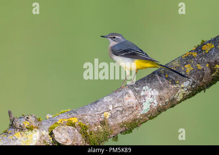 Female Grey Wagtail (Motacilla cinerea) bird perched on a branch in early Autumn (September) in West Sussex, England, UK. - Stock Photo