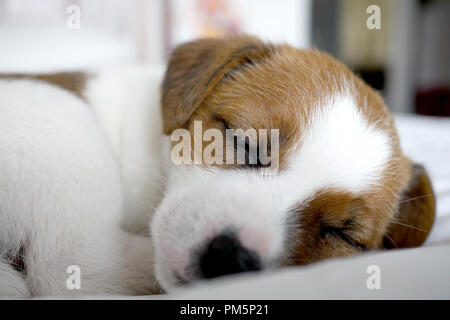 Cute Jack Russel terrier puppy - Stock Photo