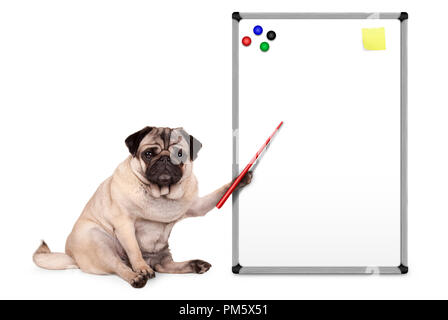 serious pug puppy dog sitting down, pointing at blank empty white board with yellow notes and magnets, isolated on white background - Stock Photo