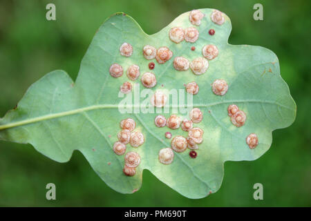 Oak Leaf Covered In Common Spangle Galls Caused By The Gall Wasp Neuroterus quercusbaccarum - Stock Photo