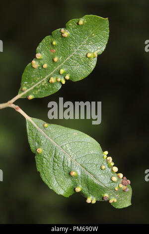 Galls on Sallow Leaf Caused by Eriophyes tetanothorax - A Mite - Stock Photo