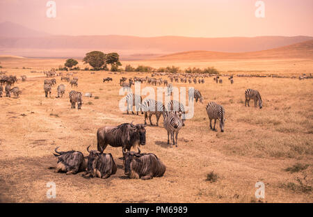 Landscape of Ngorongoro crater -  herd of zebra and wildebeests (also known as gnus) grazing on grassland  -  wild animals at sunset - Ngorongoro Cons - Stock Photo