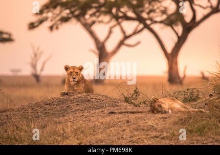 Female African Lion (Panthera leo) on top of a hill in Tanzania's Savannah at sunset - Serengeti National Park, Safari in Tanzania