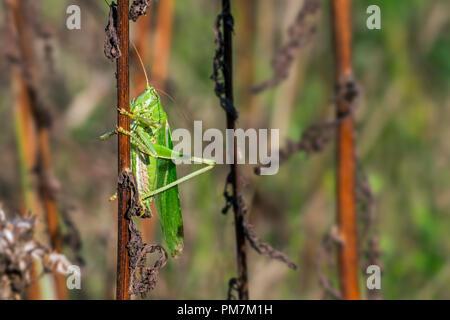 Great green bush-cricket (Tettigonia viridissima) male clinging on stalk in meadow - Stock Photo