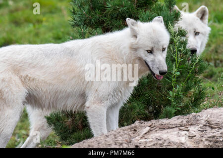 Two Canadian Arctic wolves / white wolves / Polar wolf (Canis lupus arctos) native to Canada - Stock Photo