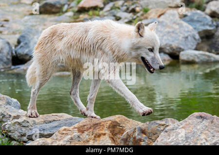 Lone Canadian Arctic wolf / white wolf / Polar wolf (Canis lupus arctos) native to Canada foraging along stream - Stock Photo