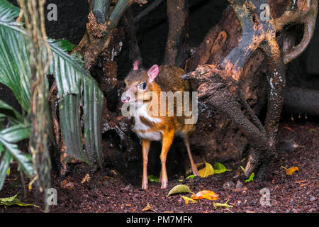Lesser mouse-deer / kanchil / lesser Malay chevrotain (Tragulus kanchil) smallest hoofed mammal native to Southeast Asia Stock Photo