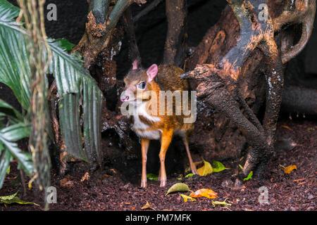 Lesser mouse-deer / kanchil / lesser Malay chevrotain (Tragulus kanchil) smallest hoofed mammal native to Southeast Asia - Stock Photo