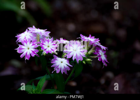 It is an annual, growing from seed each year.The branches have sharp, pointed, lengthy, ciliated leaves with rounded flowers. The flowers are single o - Stock Photo