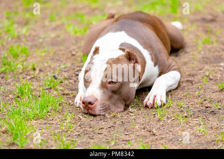 Portrait of dog lying on the gravel ground. Focus on his sad eyes, otherwise the whole dog in a soft focus with head on the floor, looking sad. - Stock Photo