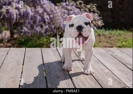 black & white baby bulldog puppy dog on deck standing forward with tongue out. He seems to be very happy as he is smiling. - Stock Photo