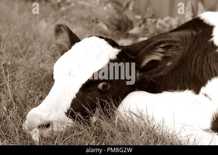 Newborn Holstein calf in sepia tones - Stock Photo