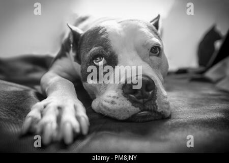 An old American Staffordshire Terrier Pitbull dog lays on a blanket with bright backlighting and a sleepy exhausted wistful look on its face - Stock Photo