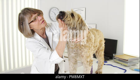 Veterinarian doctor examining injured terrier dog in medical office - Stock Photo