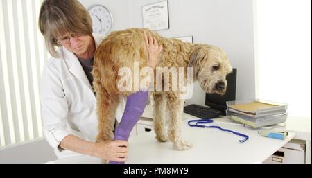 Professional veterinarian doctor examining bandage cast on dog - Stock Photo