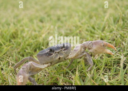 Cardisma guanhumi Small Caribbean blue land crab escaping from the camera on a grass patch - Stock Photo