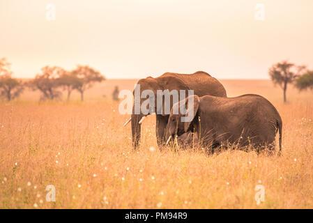 African Elephant Couple in the savannah of Serengeti at sunset. Acacia trees on the plains in Serengeti National Park, Tanzania. Wildlife Safari trip - Stock Photo