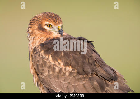 Montagu's Harrier (Circus cyaneus), adult female close-up - Stock Photo