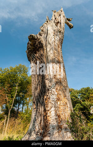 Big trunk of a dead oak tree on a sunny day in summer in Vienna, Austria - Stock Photo