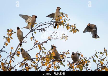 Flock of waxwings in flight an a winter birch tree, Perth Scotland - Stock Photo