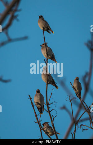 Waxwing on a tree with a blue sky background in Perth Scotland - Stock Photo