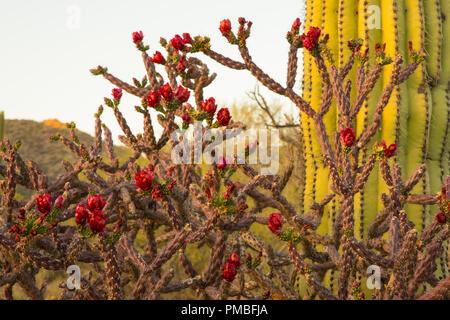 Blooming cactus. Tortolita Mountains near Tucson, Marana, Arizona.
