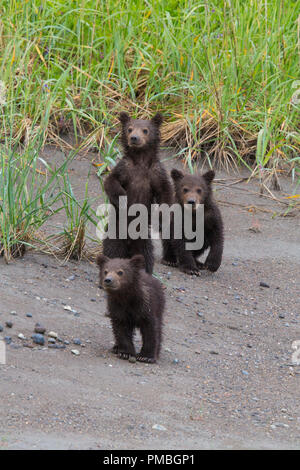 Brown / Grizzly Bear, Lake Clark National Park, Alaska. - Stock Photo