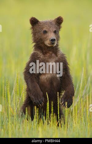 A Brown or Grizzly Bear, Lake Clark National Park, Alaska. - Stock Photo