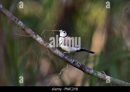 An Australian, Queensland Double-barred Finch ( Taeniopygia bichenovii ) getting ready to build a nest - Stock Photo