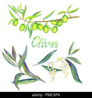 Green Olive branches with fruits, flowers and leaves, isolated hand painted watercolor illustration - Stock Photo