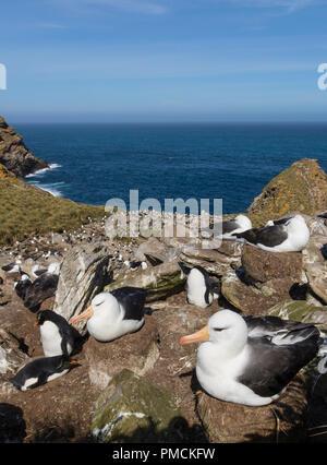 Black-browed Albatross and Rockhopper Penguins, West Point Island, Falkland Islands. - Stock Photo