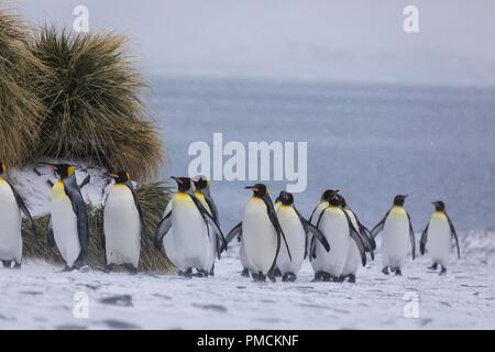 King Penguins, Fortuna Bay, South Georgia, Antarctica. - Stock Photo