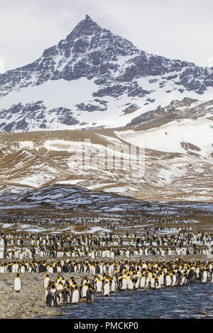 King Penguins, St Andrews Bay, South Georgia, Antarctica. - Stock Photo