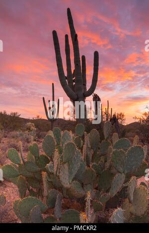 Sagauro cactus silhouetted against sunset sky.  Arizona. - Stock Photo