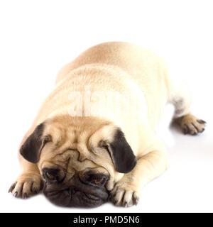 Very sad upset dog pug lying on white ground. Isolated - Stock Photo