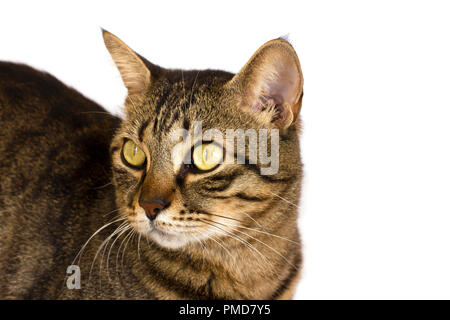 A striped cat on a white background looks aside - Stock Photo