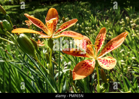 Belamcanda chinensis or Iris domestica known as leopard lily, blackberry lily, and leopard flower - Stock Photo