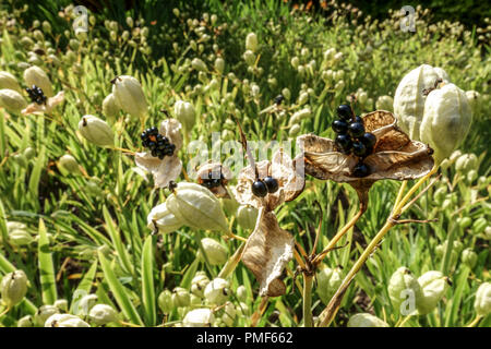 Belamcanda chinensis or Iris domestica known as leopard lily, blackberry lily, and leopard flower, seeds pods - Stock Photo