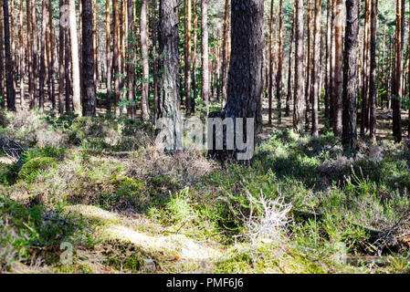 Softwood Forest in Palatinate, Germany - Stock Photo