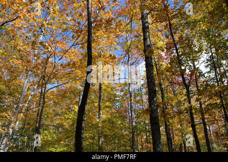 Upward shot of forest canopy landscape of fall colors in the forest at Crawford Notch State Park in New Hampshire, USA - Stock Photo