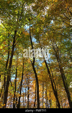 Upward shot of tall trees in a forest with fall foliage with varying shades of yellow, orange and green, in Kenosha, Wisconsin, USA - Stock Photo