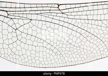 Wing of the Common Darter Dragonfly (Sympetrum striolatum) from a dead specimen. Showing veins and transparent cells - Stock Photo