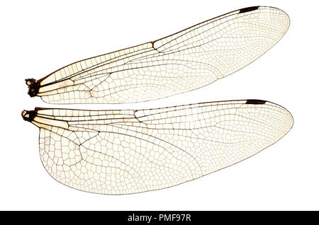 Wings of the Common Darter Dragonfly (Sympetrum striolatum) from a dead specimen. Showing veins and transparent cells