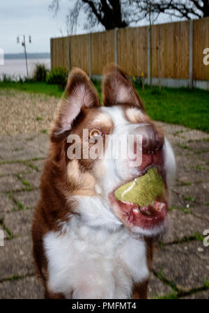 Border Collie catching a tennis ball. - Stock Photo