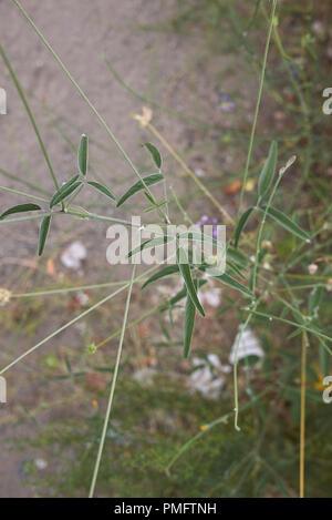 Bituminaria bituminosa plant