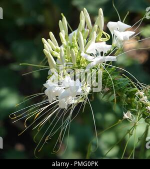 fleur blanche de Cleome hassleriana, spider flower, spider plant, pink queen, Grandfather's Whiskers, Capparaceae, Cleomaceae - Stock Photo