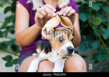 Young woman playing with her cute beagle doggy, holding his big ears - Stock Photo